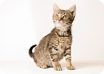 Maine Coon Kitten for adoption in Hendersonville, North Carolina - Fox