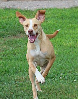 Hound (Unknown Type)/Labrador Retriever Mix Dog for adoption in Savannah, Tennessee - Sallie