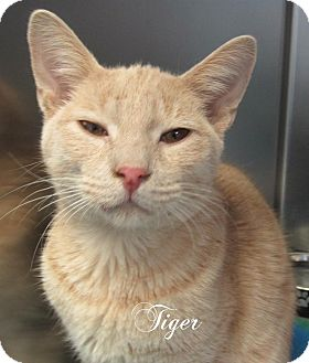 Domestic Shorthair Cat for adoption in Jackson, New Jersey - Tiger