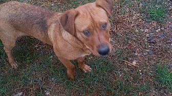 Basset Hound Mix Dog for adoption in Demorest, Georgia - Ridge