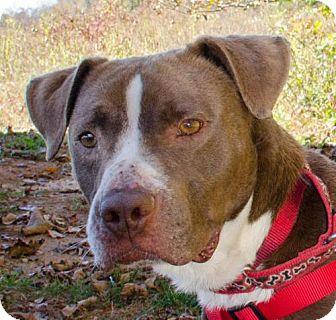 Boxer Mix Dog for adoption in Midlothian, Virginia - Mr. Pink
