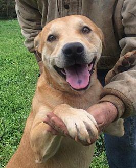 Labrador Retriever Mix Dog for adoption in Slidell, Louisiana - Dustin