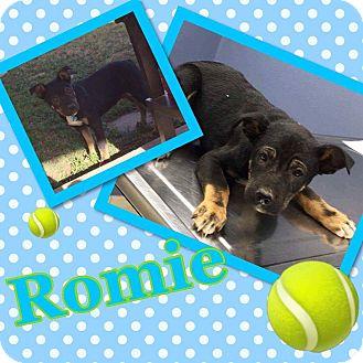 Shepherd (Unknown Type)/Rottweiler Mix Puppy for adoption in Waterbury, Connecticut - Romey