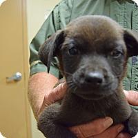 Adopt A Pet :: Hoss - Tampa, FL