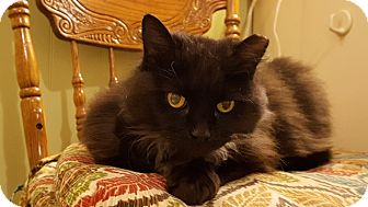 Domestic Longhair Cat for adoption in Delmont, Pennsylvania - Ruby
