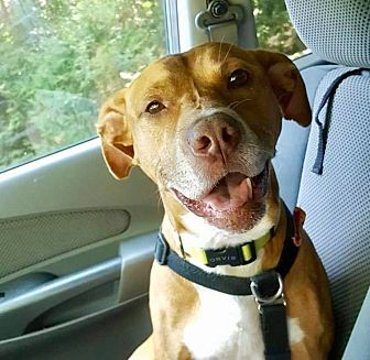 Pit Bull Terrier/Hound (Unknown Type) Mix Dog for adoption in Huntington, New York - Charlie