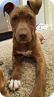 American Pit Bull Terrier Dog for adoption in oklahoma city, Oklahoma - Hope