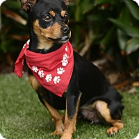 Adopt A Pet :: Batman - Rancho Palos Verdes, CA