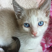 Siamese Kitten for adoption in Encinitas, California - Finnegan