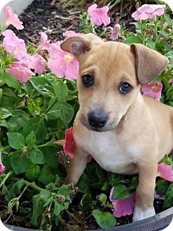 Chihuahua/Pit Bull Terrier Mix Puppy for adoption in Elkton, Maryland - Max