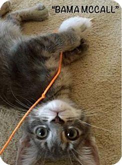 Domestic Longhair Kitten for adoption in Mission, Kansas - Bama McCall