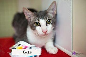 Domestic Shorthair Kitten for adoption in Richardson, Texas - Gus 17-0140