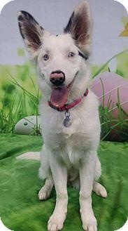 Border Collie/Australian Shepherd Mix Dog for adoption in Allen, Texas - Sadie
