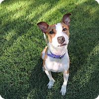 Adopt A Pet :: Romeo - Nyack, NY