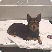 Adopt A Pet :: Gizmo - Hazelwood, MO