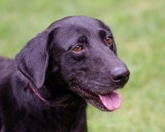 Labrador Retriever Mix Dog for adoption in Brattleboro, Vermont - August