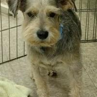 Schnauzer (Miniature) Mix Dog for adoption in Redding, California - Jerry($100)