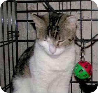 Domestic Shorthair Cat for adoption in Brooklyn, New York - Minou