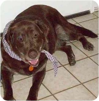 Labrador Retriever Mix Dog for adoption in Evergreen, Colorado - Darwin
