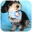 Photo 3 - Havanese/Miniature Poodle Mix Dog for adoption in Irvine, California - Cargo
