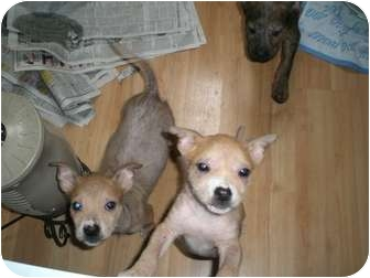 American Pit Bull Terrier Mix Puppy for adoption in Strongsville, Ohio - Trixie