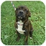 Photo 1 - Boston Terrier Mix Dog for adoption in Londonderry, New Hampshire - Nelson