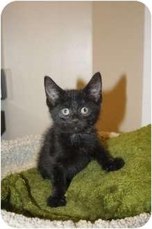 Domestic Shorthair Kitten for adoption in Medina, Ohio - Stanley