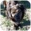 Photo 1 - Spaniel (Unknown Type)/Sheltie, Shetland Sheepdog Mix Dog for adoption in Waller, Texas - Lexie