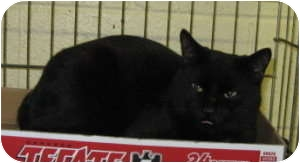 Domestic Shorthair Cat for adoption in Stillwater, Oklahoma - Barry