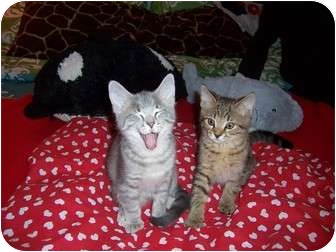 Abyssinian Kitten for adoption in Taylor Mill, Kentucky - Cooper N Xavier-Having fun!