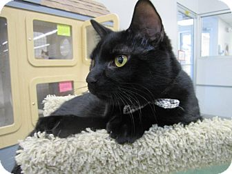 Domestic Shorthair Cat for adoption in Chesapeake, Virginia - Sammy