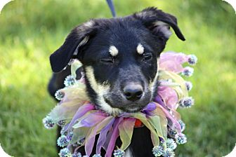 Australian Shepherd/Golden Retriever Mix Puppy for adoption in Phoenix, Arizona - Bell