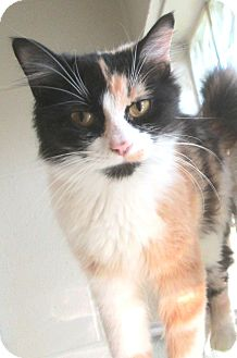 Domestic Mediumhair Cat for adoption in South Haven, Michigan - Sassy