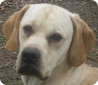 Labrador Retriever/Beagle Mix Dog for adoption in Jacksonville, Florida - Will