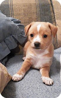 Chihuahua Mix Puppy for adoption in Mary Esther, Florida - Nacho