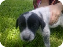 English Setter Mix Puppy for adoption in Coeburn, Virginia - Puppy 3