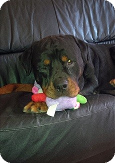 Rottweiler Dog for adoption in Treton, Ontario - Rocky