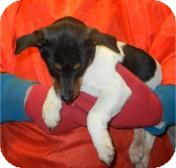 Rat Terrier Puppy for adoption in Antioch, Illinois - Reed ADOPTED!!
