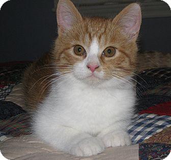 Domestic Shorthair Kitten for adoption in Carlisle, Pennsylvania - Bandit