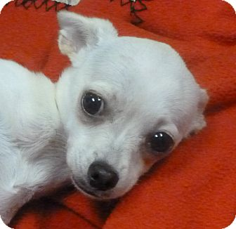 Chihuahua Mix Puppy for adoption in Hastings, Nebraska - Celeste