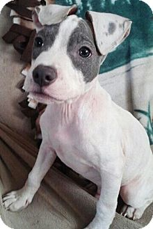 American Pit Bull Terrier Mix Puppy for adoption in Detroit, Michigan - Ruckus *Deaf*