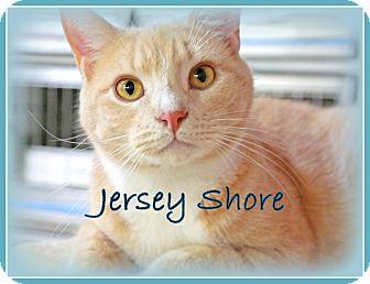 Domestic Shorthair Cat for adoption in Trevose, Pennsylvania - Jersey Shore