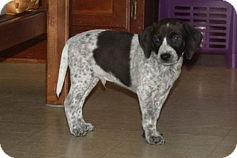 Beagle/German Shorthaired Pointer Mix Puppy for adoption in Homewood, Alabama - Motley