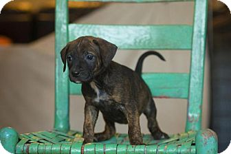 Boxer Mix Puppy for adoption in Harrisburg, North Carolina - Jubilee