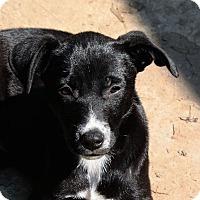 Adopt A Pet :: Bella-PENDING - Marion, AR