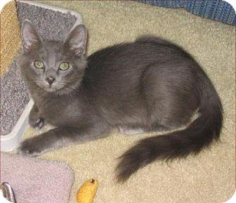 Domestic Mediumhair Kitten for adoption in San Antonio, Texas - Jasper