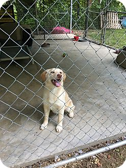 Golden Retriever Mix Dog for adoption in Hohenwald, Tennessee - Shiloh