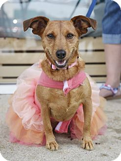 Dachshund/Terrier (Unknown Type, Small) Mix Dog for adoption in Knoxville, Tennessee - Lillian