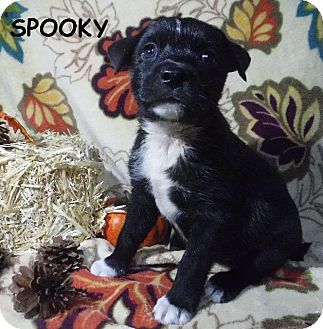 Labrador Retriever/Terrier (Unknown Type, Small) Mix Puppy for adoption in Batesville, Arkansas - Spooky