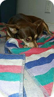 Chihuahua/Dachshund Mix Dog for adoption in Pinellas Park, Florida - Pebbles